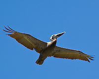 The world's smallest species of pelican - our own native brown pelican in flight over Anna Maria Island in Manatee County, Florida.