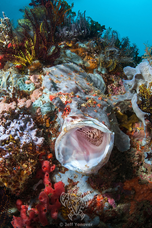 A Painted Frogfish yawns widely<br /> <br /> Shot in Indonesia