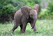 Baby elephant..Lower Zambezi National Park, Zambia, Africa..© Demelza Lightfoot