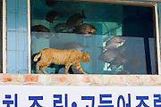 Udo, a small Island near Jeju-do. Udo Hoetjim restaurant. Cat with fish tank.