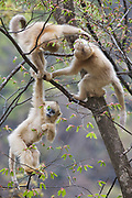 Golden snub-nosed monkey (Rhinopithecus roxellana qinlingensis) infants playing in a tree, Zhouzhi, Shaanxi, China.