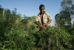 "A man weeds a hot pepper patch on land at the El Charcote cattle ranch, where he is squatting with hundreds of other people.  The Venezuela government recently began a three month ""intervention"", during which they will evaluate the productivity of the land on the British owned cattle ranch.  If the government determines the lands to be under-producing, or that the proper titles are not in order, they may redistribute those lands to the poor farmers who have been squatting on the lands."