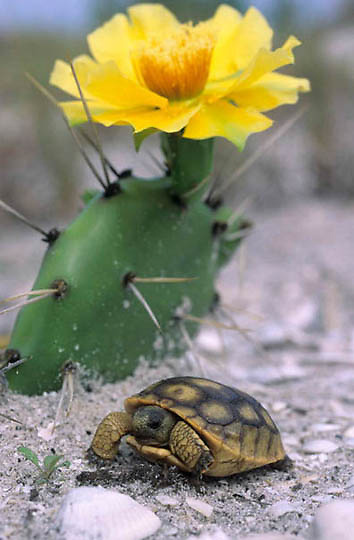 Gopher Tortoise, (Gopherus polyphemus) Young tortoise under blooming prickly pear cactus. Gulf of Mexico. Florida.