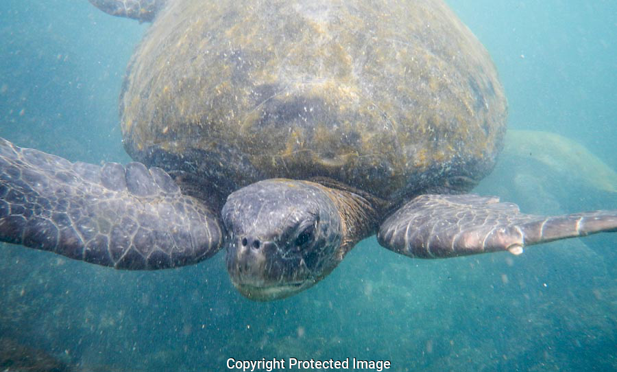 The Green Sea Turtle swam right toward my face and went right under me.