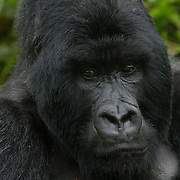 Mountain Gorilla (Gorilla beringei beringei) <br /> Virunga Volcanoes - Parc National des Volcans, Rwanda <br /> <br /> This headshot of Agashya, a silverback from Group 13, clearly shows the large sagital crest that plays such an important role in the appearance of these spectacular animals.