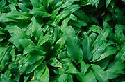 ADD2XC Ransom plants - wild garlic- showing leaves