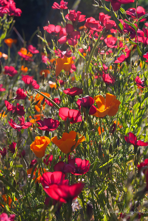 Brilliant red scarlet flax flowers and native orange California poppy flowers fill a sunny meadow