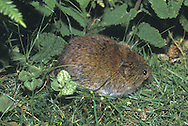 Bank Vole Clethrionomys glareolus Length 13-17cm Plump, richly coloured vole. Makes underground nest and radiating shallow tunnel network; forages for seeds and fruits above ground. Adult has compact body and mainly reddish brown fur, paler and greyer on chest and belly. Relative to Field Vole, has large ears and long tail. Island ssp. are larger and heavier than mainland animals. Squeaks if alarmed. Common in deciduous woodland, hedgerows and field margins.