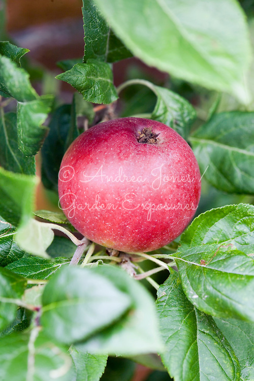 Apple 'Red Devil'