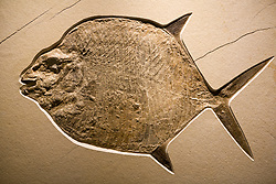 Stock photo of a Gyrodus (Jurassic Moon Fish) fossil at the new Paleontology Hall at the Houston Museum of Natural Science