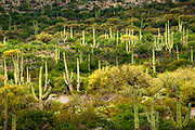 A forest of saguaro cactus in Saguaro National Park, Arizona