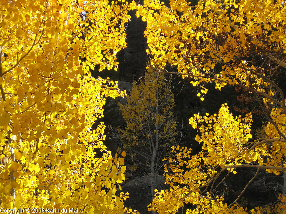 Fall foliage in Rocky Mountain National Park, Colorado. Leaves backlit by the sun!