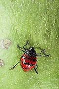 Fungus Beetle (Erotylus sp) (Erotylidae)<br /> Yasuni National Park, Amazon Rainforest<br /> ECUADOR. South America<br /> HABITAT & RANGE: