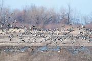 Mallards, Northern Pintails, American Wigeon, American Black Ducks, Anas platyrhynchos, acuta, americana, rubripes, Tuscola County, Michigan