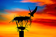 An osprey takes flight from its nest as the sun sets on Lake James in Morganton, North Carolina.<br /> <br /> &copy; Photography by Kathy Kmonicek