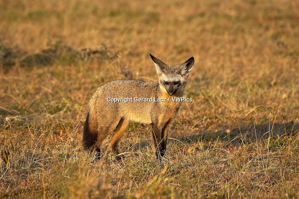 Bat Eared Fox, otocyon megalotis, Adult standing on Dry Grass, Masai Mara Park