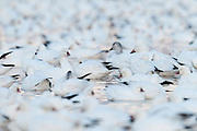 Ross's Geese, Chen rossii, Snow Geese, Chen caerulescens, Bosque del Apache NWR, New Mexico