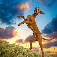 Images of Cooper the Hungarian Viszla at Devil's Dyke Highlights of images of dogs in the outdoors, by specialist dog photographer Rhian White.