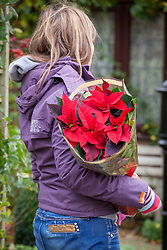 Buying a poinsettia to bring indoors