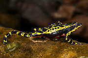 Lemon Harlequin Frog (Atelopus sp. spumarius complex)<br /> CAPTIVE<br /> Amazon region of SE<br /> ECUADOR. South America<br /> RANGE: Ecuador<br /> Amazon Basin<br /> Critically endangered<br /> New undescribed species