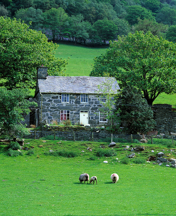 Sheep graze near a stone house in the Ty-nant Valley, Snowdonia NP, Gwynedd Co., Wales.