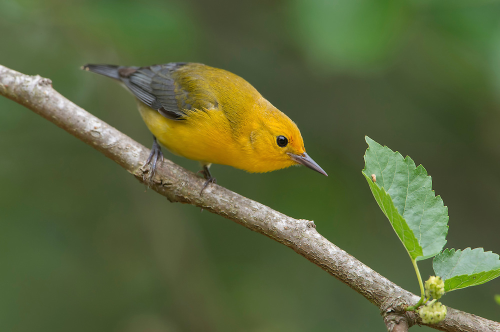Perched prothonotary warbler (Protonotaria citrea), High island, Texas