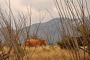 Cattle graze in the grasslands in the foothills of the Santa Rita Mountains in the Sonoran Desert, Arizona, USA.