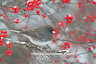 01569-01707 Dark-eyed Junco (Junco hyemlis) in Common Winterberry bush (Ilex verticillata) in winter, Marion Co., IL