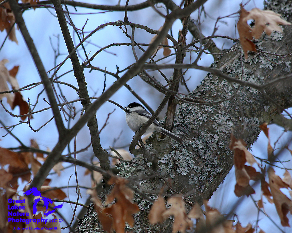 Chickadees have long been one of my favorite birds. They have a charmingly beautiful song, and are such well-mannered visitors to my bird feeders. They are so friendly that, on occasion, they will light on the bill of your cap, or even on your camera lens.