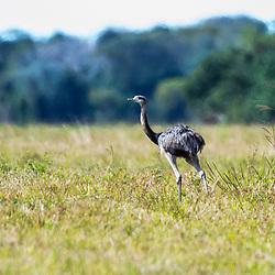 Emas e Avestruzes - Rheiformes / Emas and Ostriches