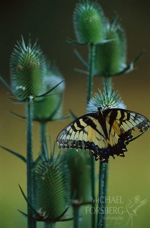 Swallowtail Butterfly during its last days. Fontanelle Forest, Missouri River valley, Nebraska.