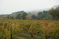 Green vineyard turning to red in early autumn, Provence, France. A mist covered green hill rises in the background.