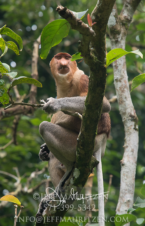 A proboscis monkey on a branch in Bako National Park, on the island of Borneo, Malaysia.