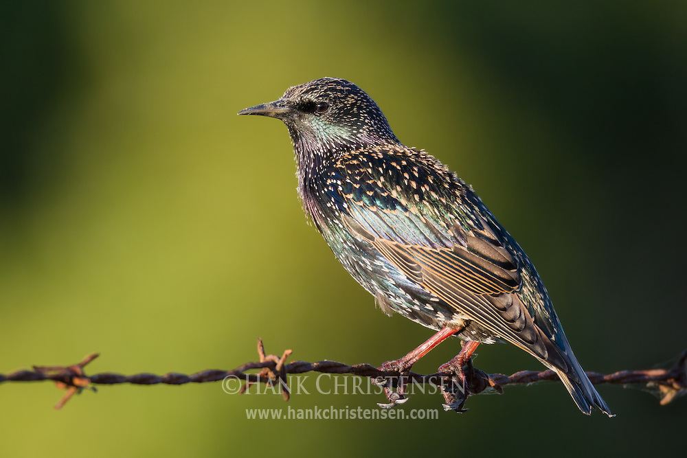 A european starling perches on a length of barbed wire