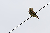 Little Owl Pictures - Photos