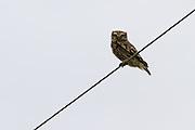 Little Owl, Southland, New Zealand