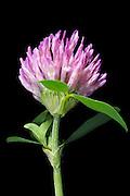 red clover (Trifolium pratense) - Rotklee
