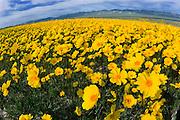 Goldfields (Lasthenia californica) along Soda Lake, Carrizo Plain National Monument, California