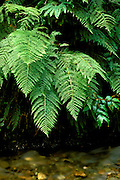 Detail of ferns above Howe Creek in Fern Canyon, Prairie Creek Redwoods State Park, California.