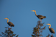 Grey Herons in top of a tre | Gråhegrer i toppen av et tre