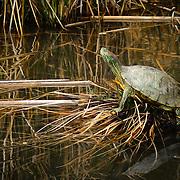 Turtle in Riparian Pond - Gilbert, AZ