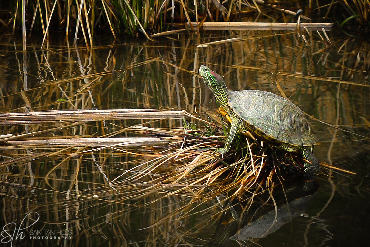 Turtle in Riparian Pond - Gilbert, AZ