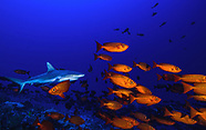 Grey Reef Sharks, Fakarava