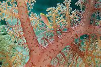 A red-margined wrasse (Cirrhilabrus rubrimarginatus) in a soft coral's polyps.