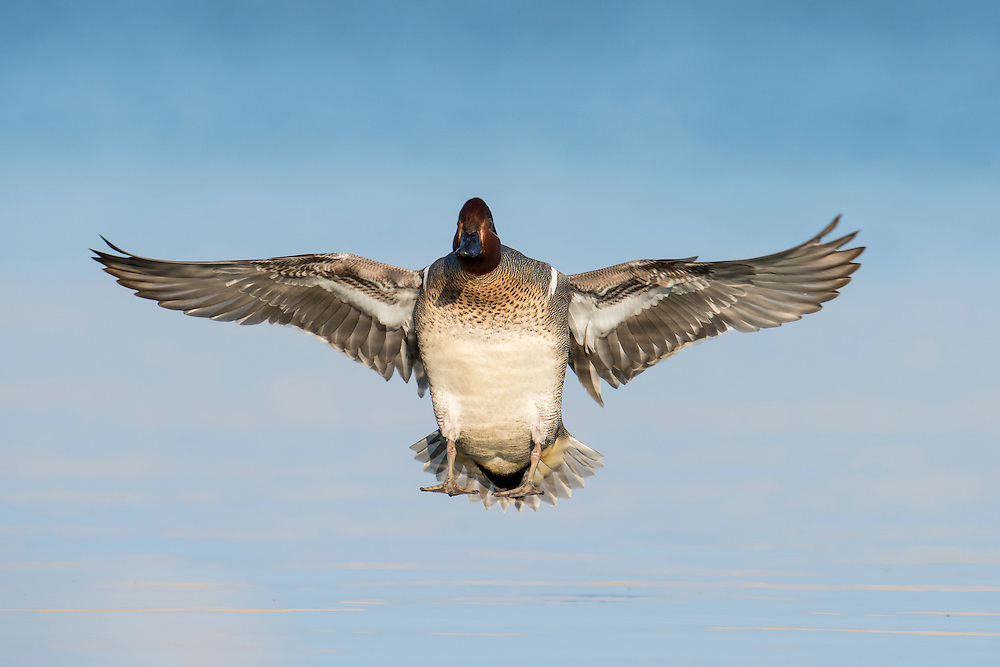 Green-winged Teal, Anas crecca, male, Saginaw Bay, Michigan