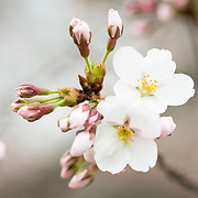Each spring about 1,700 cherry trees around the Tidal Basin bloom in a colorful but brief floral display that brings large numbers of visitors to the region. The latest information on Washington DC's cherry blossom bloom of 2014 is available here.  [Photo: DAVID COLEMAN / HAVECAMERAWILLTRAVEL.COM]