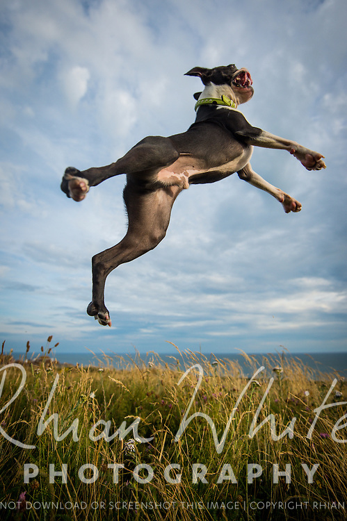 Cosmo the Boston Terrier
