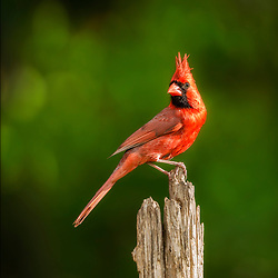 A Male Northern Cardinal Perched Against A Blurred Backdrop Of Spring Green