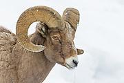 Bighorn Sheep in Lamar Valley inside Yellowstone National Park