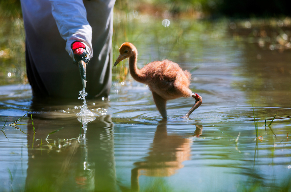 A costumed aviculturist demonstrates how to forage for food in a pond to a young Whooping Crane.